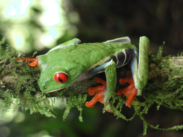 amazon red-eyed tree frog
