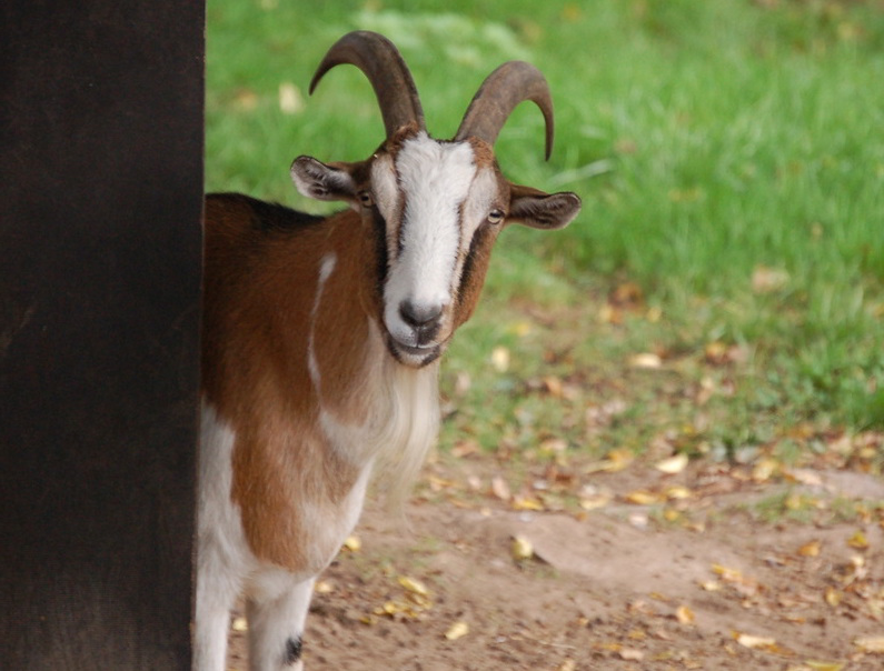 A male goat peers around a wall in front of a field of grass